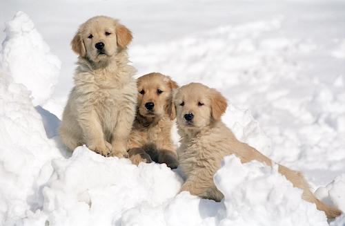 Golden Retriever puppies resting on the snow